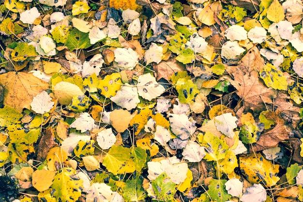 Naturalna tekstura żółtych jesiennych opadłych liści osiki i klonu na drodze.