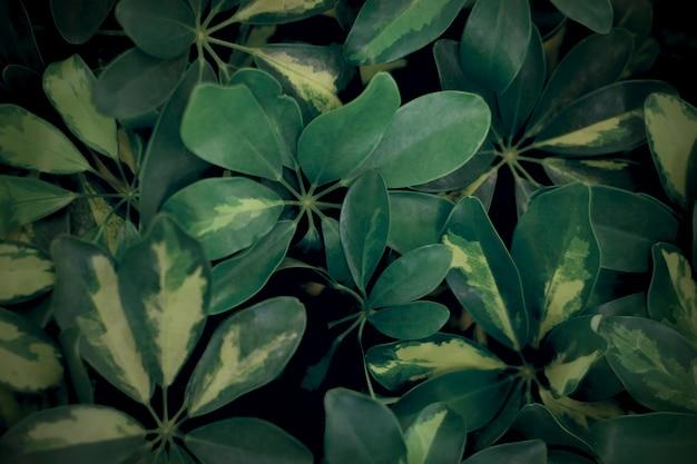 Naturalne ciemnozielone liście roślin. nieostrość.
