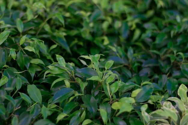 Naturalne ciemnozielone rośliny tło.