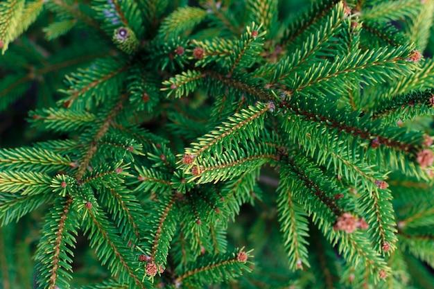 Naturalne gałęzie świerkowe, nieostrość.
