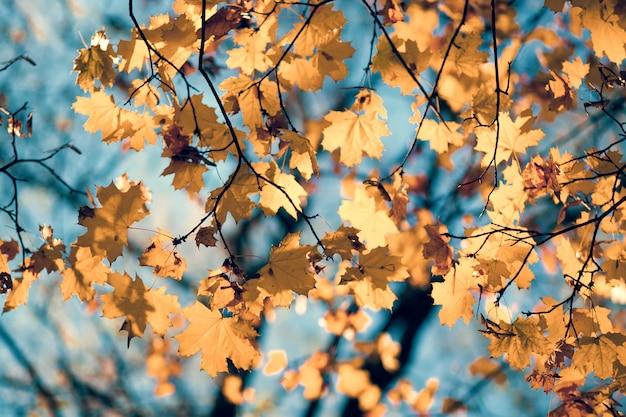 Naturalne jesienne liście klonu na gałązce, przez którą zachodzące słońce świeci na tle błękitnego nieba