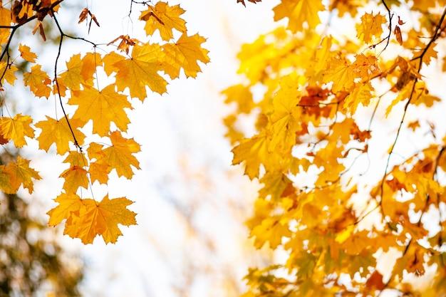 Naturalne jesienne liście klonu na gałęzi, przez którą świeci zachodzące słońce, tło z miejsca kopiowania.