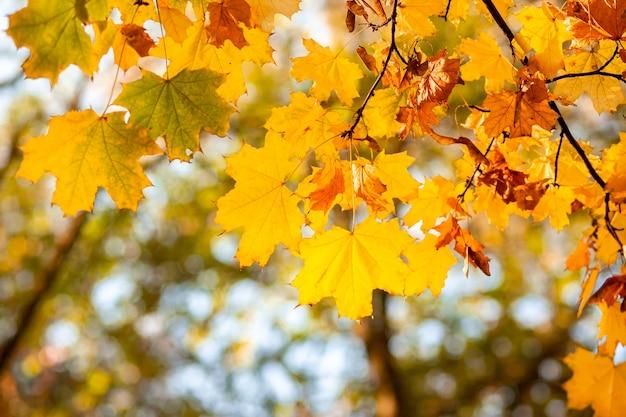 Naturalne jesienne liście klonu na gałęzi, przez które prześwieca zachodzące słońce