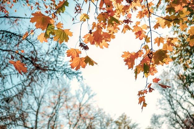 Naturalne jesienne liście klonu na gałęzi, przez które zachodzące słońce świeci na tle błękitnego nieba, tło z miejsca kopiowania.