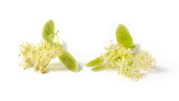 Naturalne kwitnące gałązki lipy lub lipy wielkolistnej pokryte żółtymi aromatycznymi kwiatami na białym tle, kopia przestrzeń. roślina lecznicza