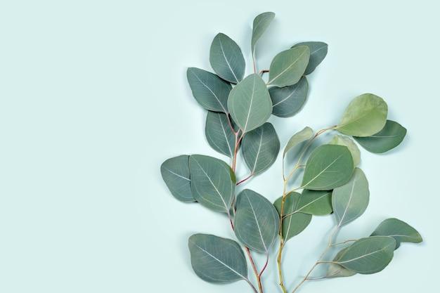 Naturalne liście eukaliptusa na miętowym pastelowym zielonym tle, płaska kompozycja kwiatowa, widok z góry, miejsce na kopię.