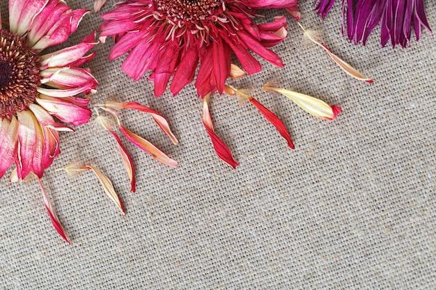 Naturalne suche kwiaty gerbera na bawełnianej szmatce. kartkę z życzeniami z gratulacjami.