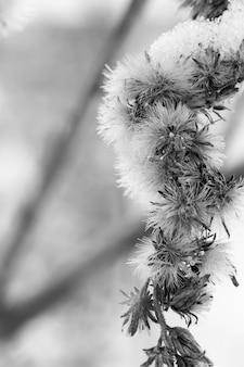 Naturalne suche kwiaty pokryte puszystym białym śniegiem. czarny i biały. selektywne ustawianie ostrości