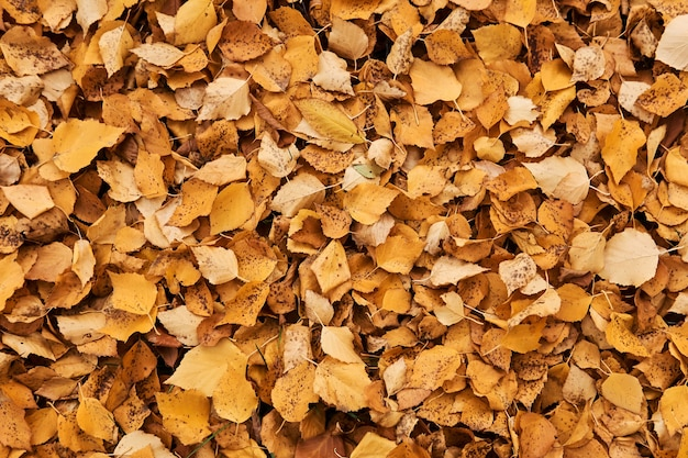 Naturalne tło - ciągła pokrywa jesiennych opadłych żółtych liści osiki