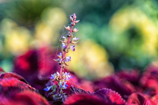 Naturalne tło czerwonych roślin caleus