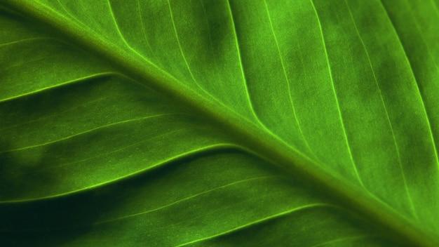 Naturalne tło. jaskrawy - zielony liść rośliny zakończenie up. faktura.