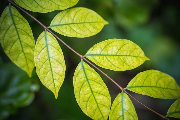 Naturalne tło jasne zielone niewyraźne abstrakcyjny styl z liści roślin