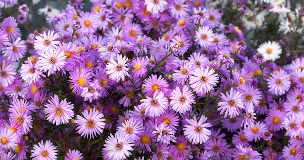 Naturalne tło jesiennych kwiatów aster września fioletowe