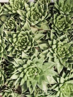 Naturalne tło kaktus lub soczysta roślina. widok z góry