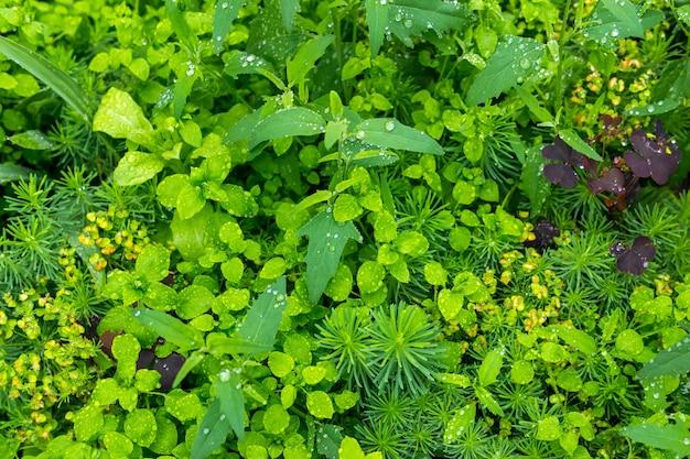 Naturalne tło - łąka z różnorodną trawiastą roślinnością podczas deszczu z bliska
