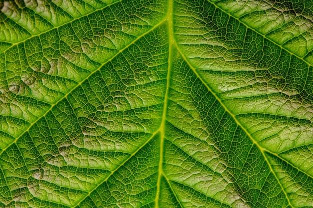 Naturalne tło lub tekstura, zielony liść maliny, zbliżenie.