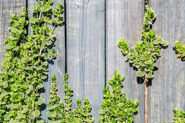 Naturalne tło. stary drewniany płot i młode gałązki rośliny z zielonymi liśćmi. miejsce na tekst.