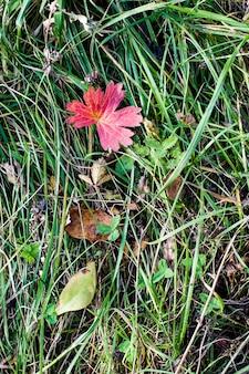 Naturalne tło tekstura z trawy i liści. duży czerwony liść na zielonej trawie. leżał płasko.