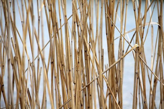 Naturalne tło trzciny nad jeziorem