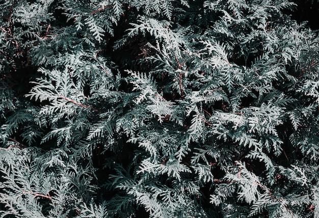 Naturalne tło z gałązek iglastych. monochromatyczny kreatywny przyciemniony i nastrojowy kolor.