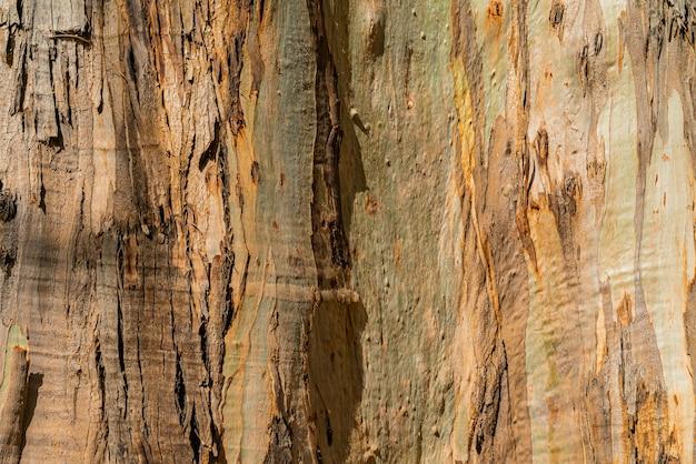 Naturalne tło z kory eukaliptusa gumtree. zbliżenie tułowia. teneryfa, wyspy kanaryjskie