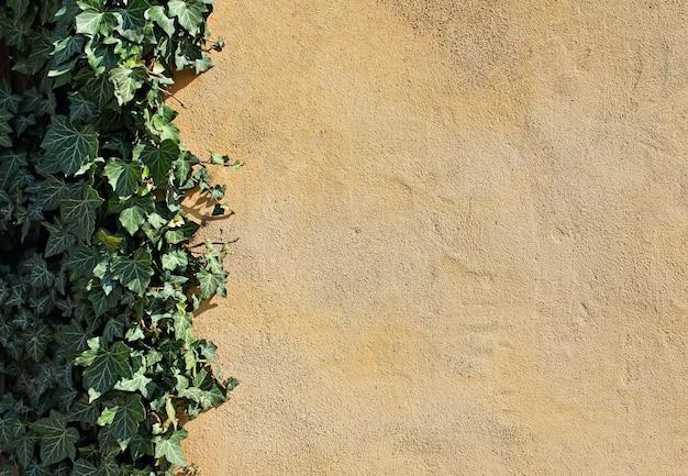 Naturalne tło z pustą żółtą ścianą i bluszczem wspinaczkowym
