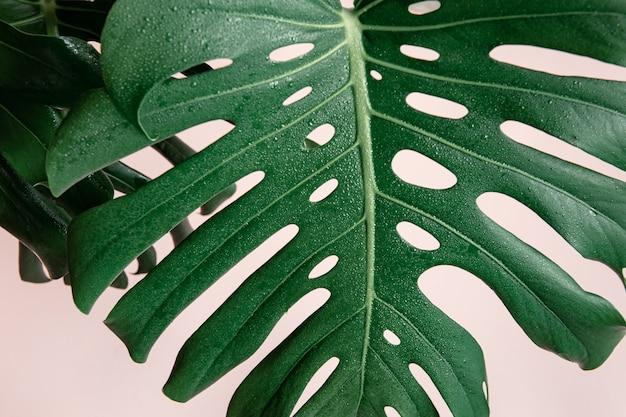 Naturalne tło z tropikalnym liściem monstera na różowym tle.