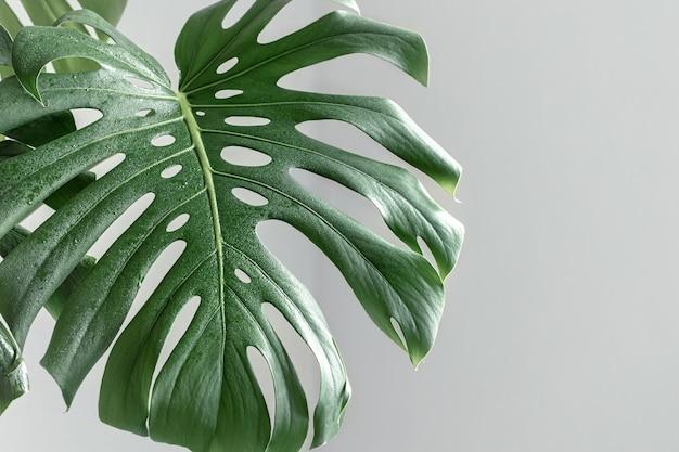 Naturalne tło z tropikalnym liściem monstera w świetle dziennym.