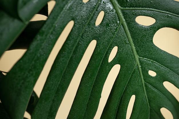 Naturalne tło z tropikalnym liściem monstera z bliska.