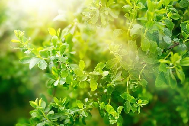 Naturalne tło z zielonymi świeżymi liśćmi i promieniami słonecznymi na pełnym ekranie