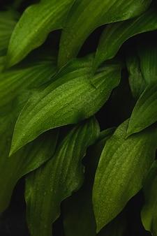 Naturalne tło zielonych liści w kroplach.
