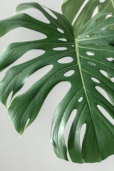 Naturalne tropikalne liście monstery w świetle dziennym.