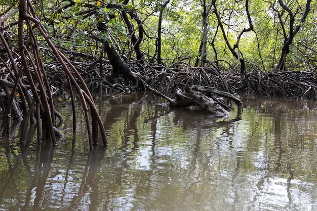 Naturalne tropikalne namorzyny z korzeniami.