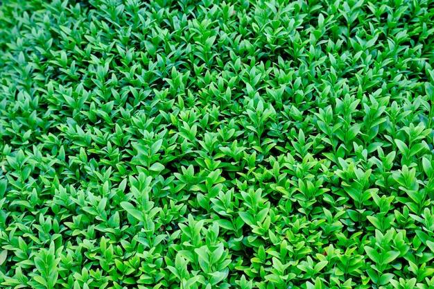 Naturalne zielone liście na ścianie w tle