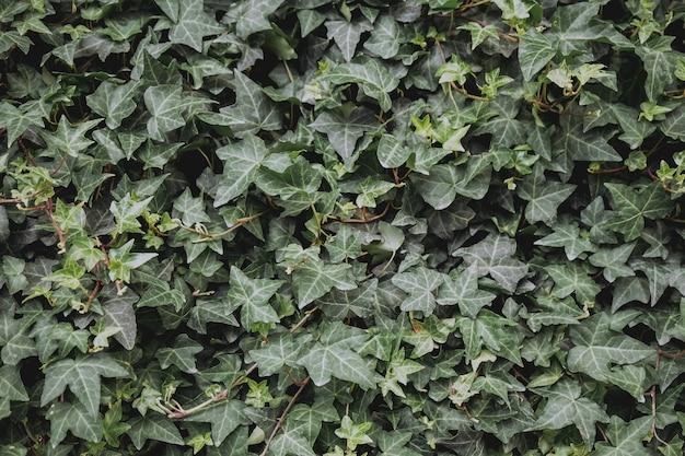 Naturalne zielone tło zielonych liści
