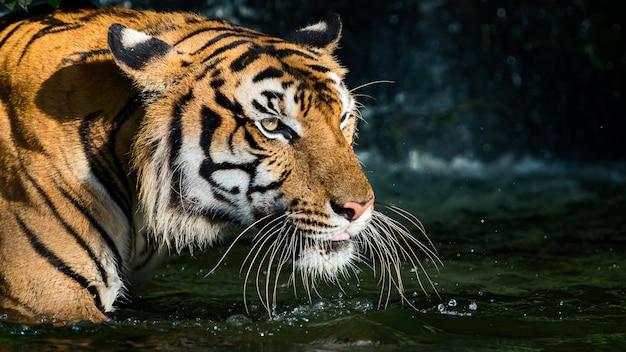 Naturalnie zdjęcia tygrysa.