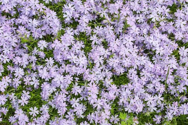 Naturalny dywan jaskier ozdobnych kwitnienia jako tło