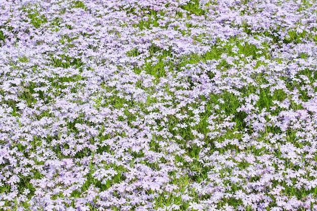 Naturalny dywan jaskierów kwitnących na leśnej polanie