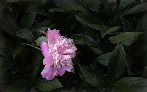Naturalny kwitnący kwiat piwonii wśród przestrzeni kopii liści.