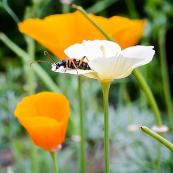Naturalny obraz: chrząszcz siedzi na płatku białego kwiatu eshsholtsiya