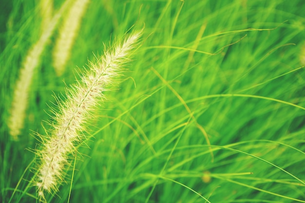 Naturalny świeży rubinowej trawy tła abstrakcjonistyczny zakończenie up