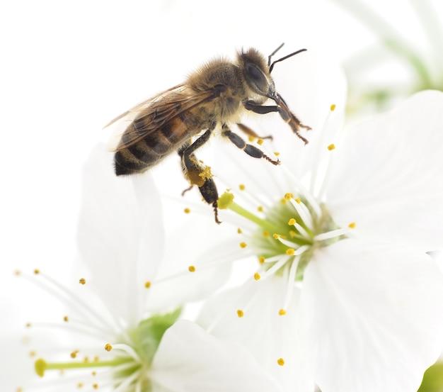 Nature honeybee i białe kwiaty wiśni.