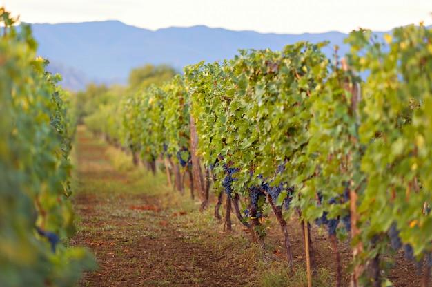 Natury tło z winnicą w jesieni żniwie. dojrzałe winogrono winorośli w zachodzącym słońcu.