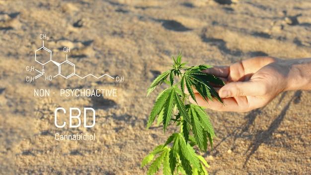 Naukowcy używają ręki do trzymania lub badania roślin konopi w szklarni do badań medycznych. koncepcja badań marihuany sativa. olej cbd, ziołolecznictwo