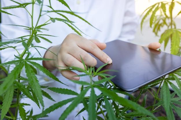 Naukowiec bada konopie z tabletem w dłoniach. badania medyczne roślin liści konopi.