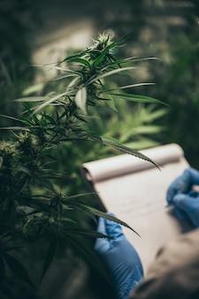 Naukowiec sprawdza rośliny konopne w szklarni chwastów. pojęcie ziołowej medycyny alternatywnej, oleju cbd, przemysłu farmaceutycznego