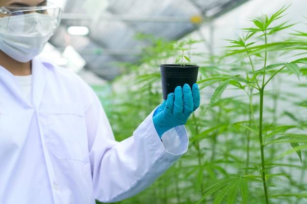 Naukowiec trzyma sadzonki konopi w zalegalizowanym gospodarstwie.