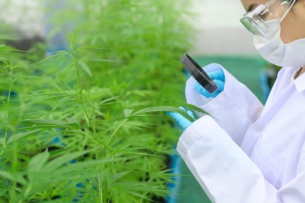 Naukowiec używający szkła powiększającego do zbierania i analizowania danych na farmie konopi sativa