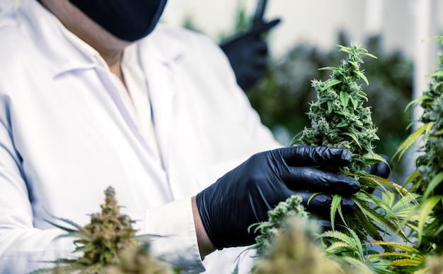 Naukowiec z rękawicą zbierającą kwiat konopi w kontrolnej hodowli dla laboratorium medycznego do wytwarzania leków