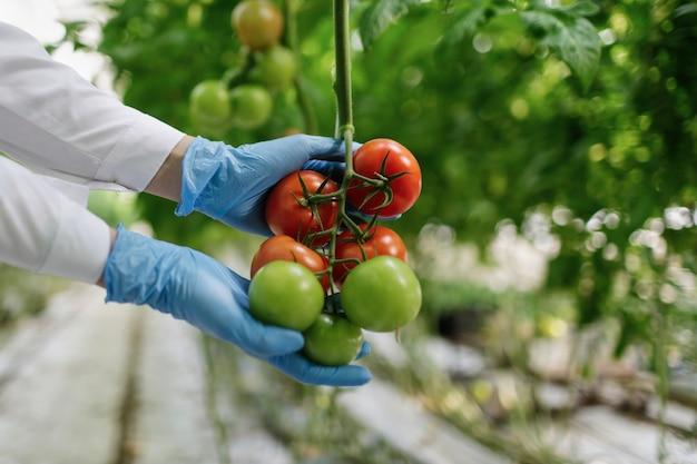 Naukowiec żywności pokazujący pomidory w szklarni